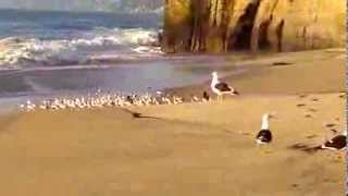 seabirds chili moon nude beach aves marinas en playa nudista luna