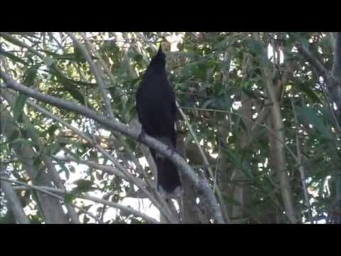 Currawongs singing in my garden.