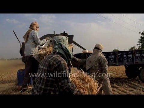 Wheat threshing season in India