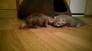 Шотландские котята 2 недели