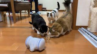 人工知能ロボットにおやつを貰う猫