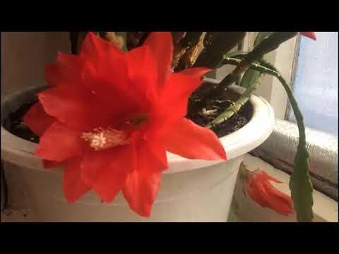 Эпифиллум - лесной кактус!! Секреты зимнего ухода