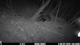 2019 Two badgers grooming
