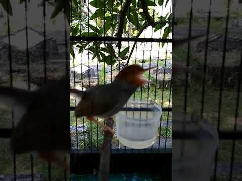 Free Download Prenjak Merah Asli Kalimantan Si Sakera Mp3 dan Mp4
