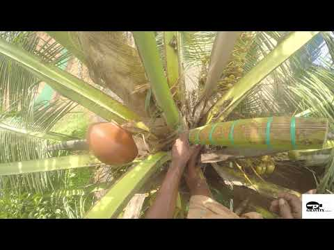 Toddy tapping method used in kerala:(Coconut juice)(2018)