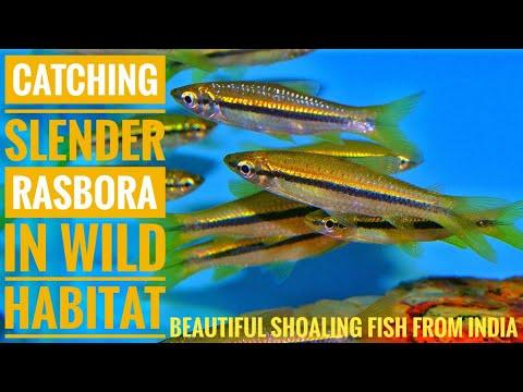 Catching SLENDER RASBORA Beautiful Indian Fish | Aqua Adventure |
