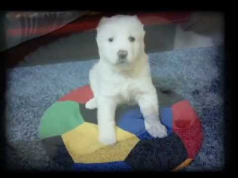 Alabai White Central Asian Shepherd Dog -  Ivan (1 to 6 months)