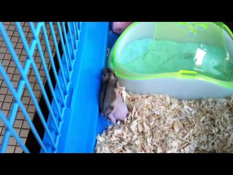 Baby hamster 8 day old - cage cleaning