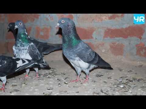 कबूतर को दाना खिलाने के लाभ//कहाँ दाना डाले और कहाँ नहीं?