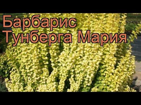 Барбарис тунберга Мария (berberis thunbergii maria) 🌿 обзор: как сажать, саженцы барбариса Мария