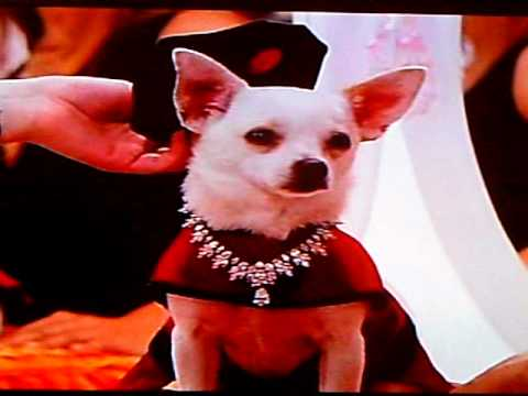 beverly chihuahua beverly hills chihuahua part 1 youtube 8080