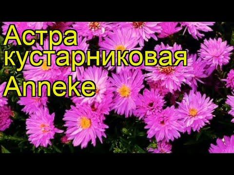 Астра кустарниковая Аннеке. Краткий обзор, описание характеристик aster dumosus Anneke