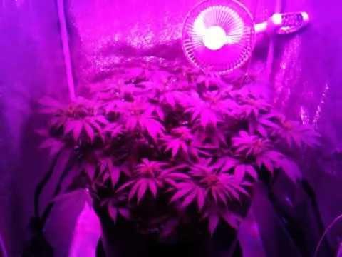 Master Kush (Nirvana Seeds) Week 1 flowering