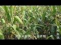 周口商水农村,掰玉米的季节,一亩半地一上午,真快