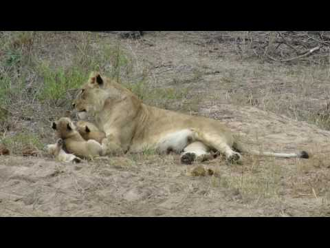 Lioness giving some Motherly love to her 9 week old cubs, Sabi Sands, South Africa