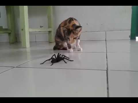 Кот против паука птицееда