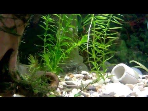 Элодея аквариумное растение. Мои аквариумы.