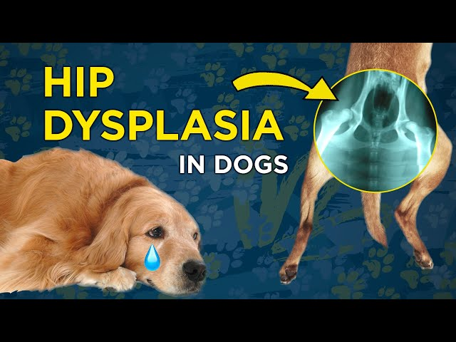 Recognizing Hip Dysplasia in Dogs - VetVid Episode 014