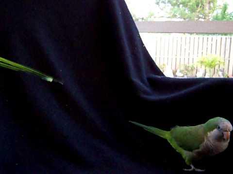 Quaker Parrots Male & Female Finally Getting Along