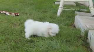 Maltese Puppies For Sale