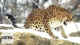Дальневосточный леопард из приморского заповедника отправился в зоопарк Москвы