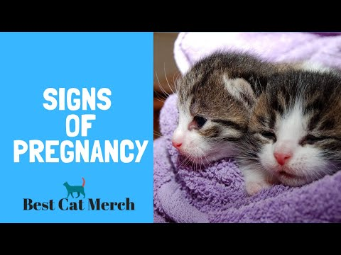 How To Tell If Your Cat Is Pregnant? (5 Signs)