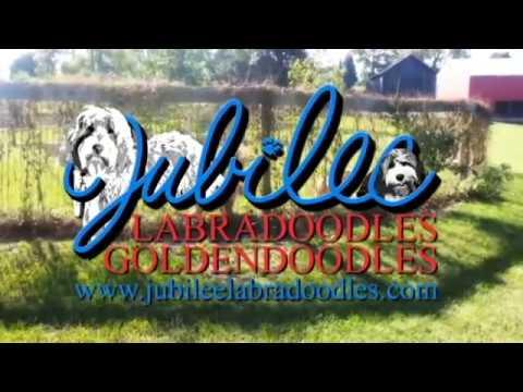 Labradoodles & Goldendoodles Puppies in Michigan