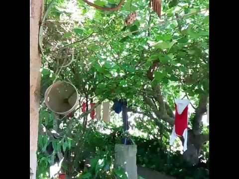 Sylvia atricapilla (toutinegra de barrete preto) in my garden - Fornos Maceira Dao