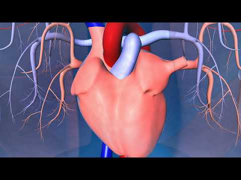 Human heart, lungs, arteries and veins