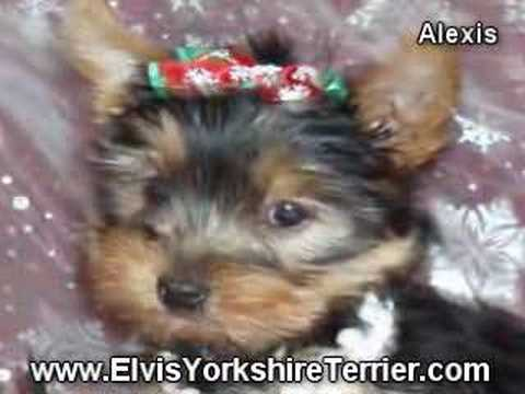 Female Yorkie For Sale