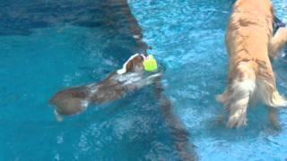 Rescued English Bulldog Swimming Without Life Jacket!