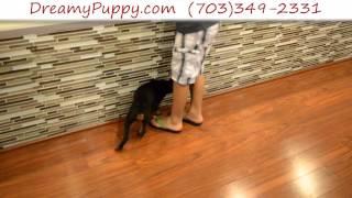 Dreamy Puppy - Doberman Pinscher Girl