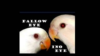 Video Perbedaan mata lovebird ino vs fallow download MP3, 3GP, MP4, WEBM, AVI, FLV Juli 2018
