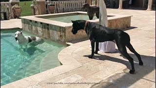 Great Dane Shows New Sister Dog How to Dip and Sip and Lunch with Friends