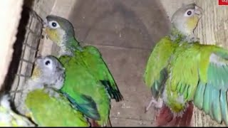 4 piece beautiful pineapple Conure bird baby
