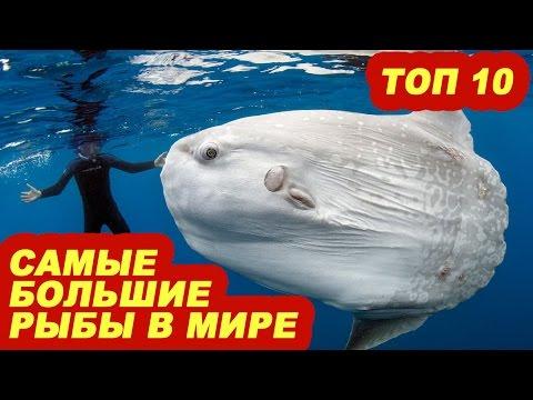 Топ 10 самые большие рыбы в мире