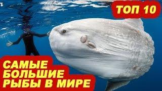 Топ 10 самые большие рыбы в мире(Смотри какие есть самые большие рыбы на планете. 00:36 Гигантский групер или гуаса 01:20 Псефур или китайский..., 2015-12-28T10:26:53.000Z)