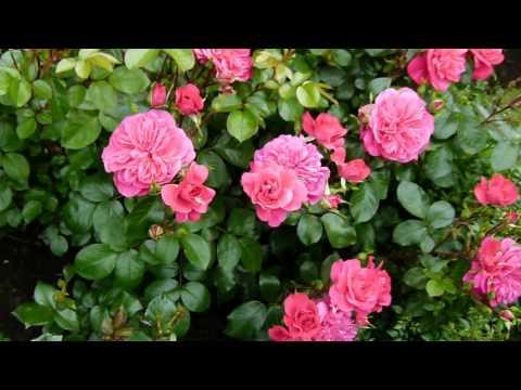 Розы. Цветение розы Сангрия.