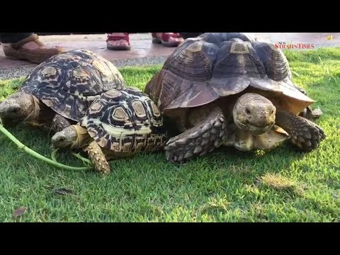 How Do You Take Your Pet Tortoises For A Walk This Melaka Man - Man walks pet tortoise through tokyo