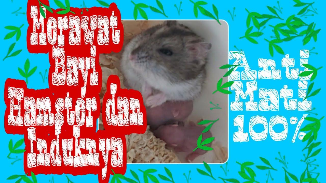 Cara Merawat Bayi Hamster Agar Tetap Sehat Dan Anti Mati Youtube
