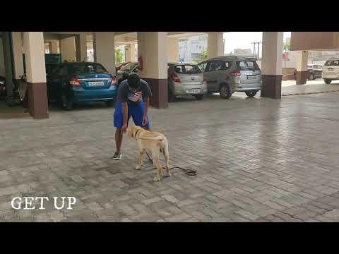 Labrador Dog training in Chennai