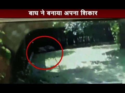 Live Video: White tiger kills Class 12 student at Delhi zoo-Part 2