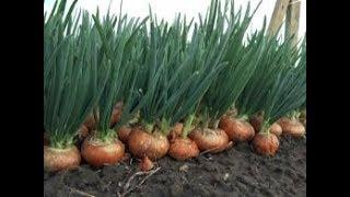 Выращивание зелени лука в домашних условиях/Вирощування зеленої цибулі/Выращивание лука на зелень
