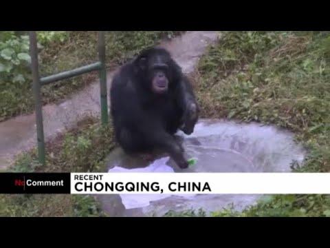 شاهد: حيوان الشمبانزي يغسل الملابس في حديقة للحيوانات في الصين…  - نشر قبل 7 ساعة