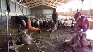 Esquila de ovejas - España / Strzyżenie owiec - Hiszpania