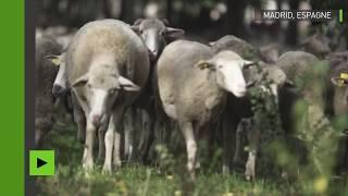 Espagne : C'est quoi ce troupeau ? Des milliers de moutons envahissent Madrid