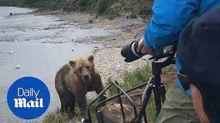 Remarkable moment brown bear comes up close to photographers - Daily Mail