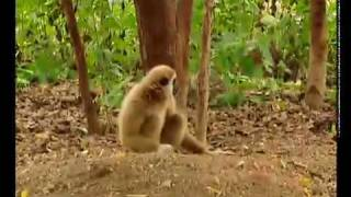 Gibbon plays with Tigers at www.gibbons.asia