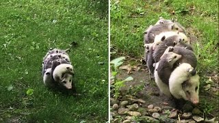 Watch This Mama-of-the-Year Opossum Carry 12 Babies on Her Back