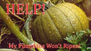 How To Ripen Pumṗkins Off The Vine